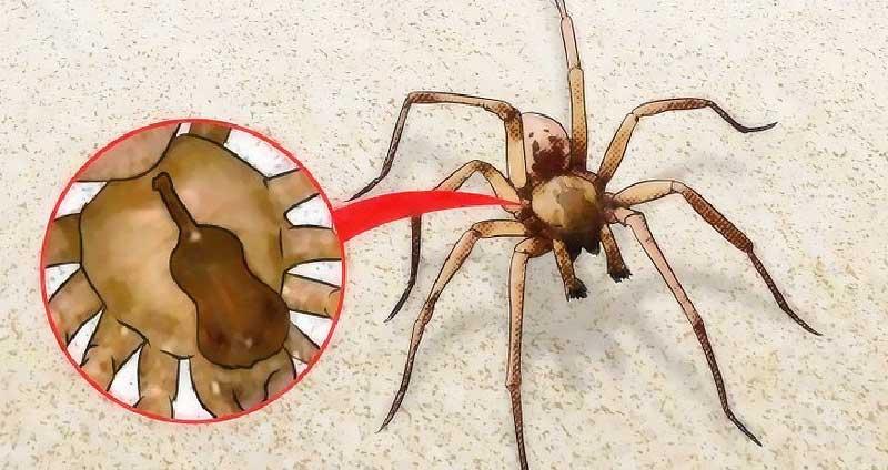 Recluse or Violin Spider