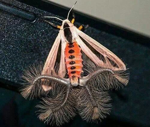 Creatonotos moth