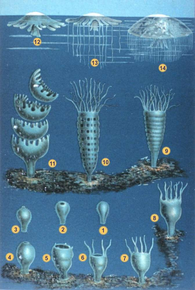 Life cycle of jellyfish